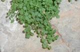 Il mondo vegetale - l'Arenaria Orbicularis